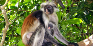 Kirk - Scimmia Rossa di Zanzibar